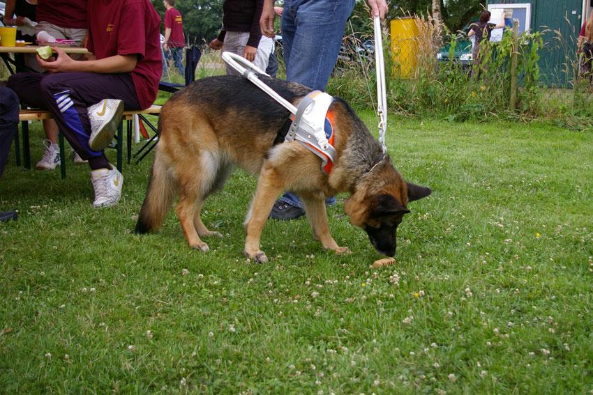 Hilfsmittel der besonderen Art: Ein Schäferhund im Führgeschirr
